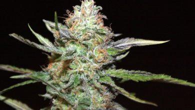 Photo of Cannabis growing systems- Alchimia Grow Shop